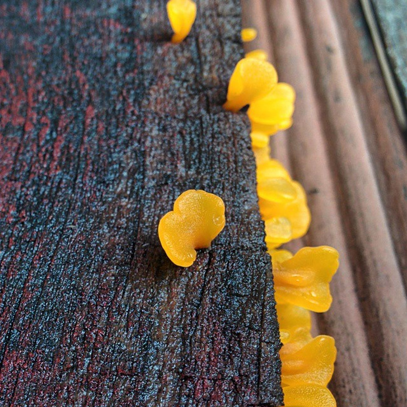 Ok i am Obsessed Dontknowwhy Fungi Fungus Yellow Wood Woodgrain Closeup Nexus5 Hdrplus Nofilter Notsurewhatitis