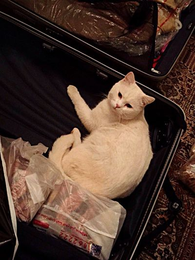 Let's Go. Together. Domestic Cat Bolonie Travel Suitcase Pets Attachment Looking At Camera Funny Clever Cat Clever