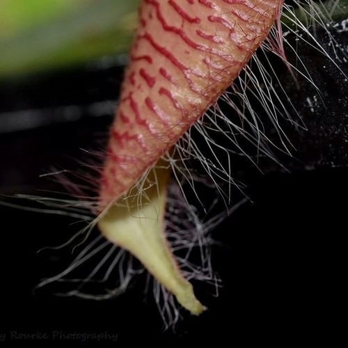 Amazing little hairy plant Carnivorous Stapelia  Plant Hairy  Hairy  Reds Parksideorchidsnursery Orchidfest