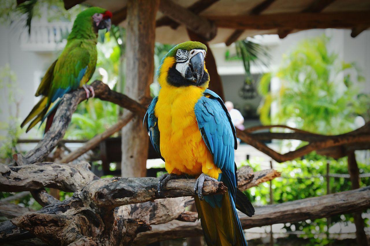 Bird Animal Themes Parrot Animal Wildlife Macaw Gold And Blue Macaw Tree Nature Mexico Playadelcarmen Loves_team_members Nikonphotography IGDaily EyeEm Team Picoftheday Travel Tweegram Swag All_shots Igers Amazing EyeEm Best Shots Holiday Followme Love