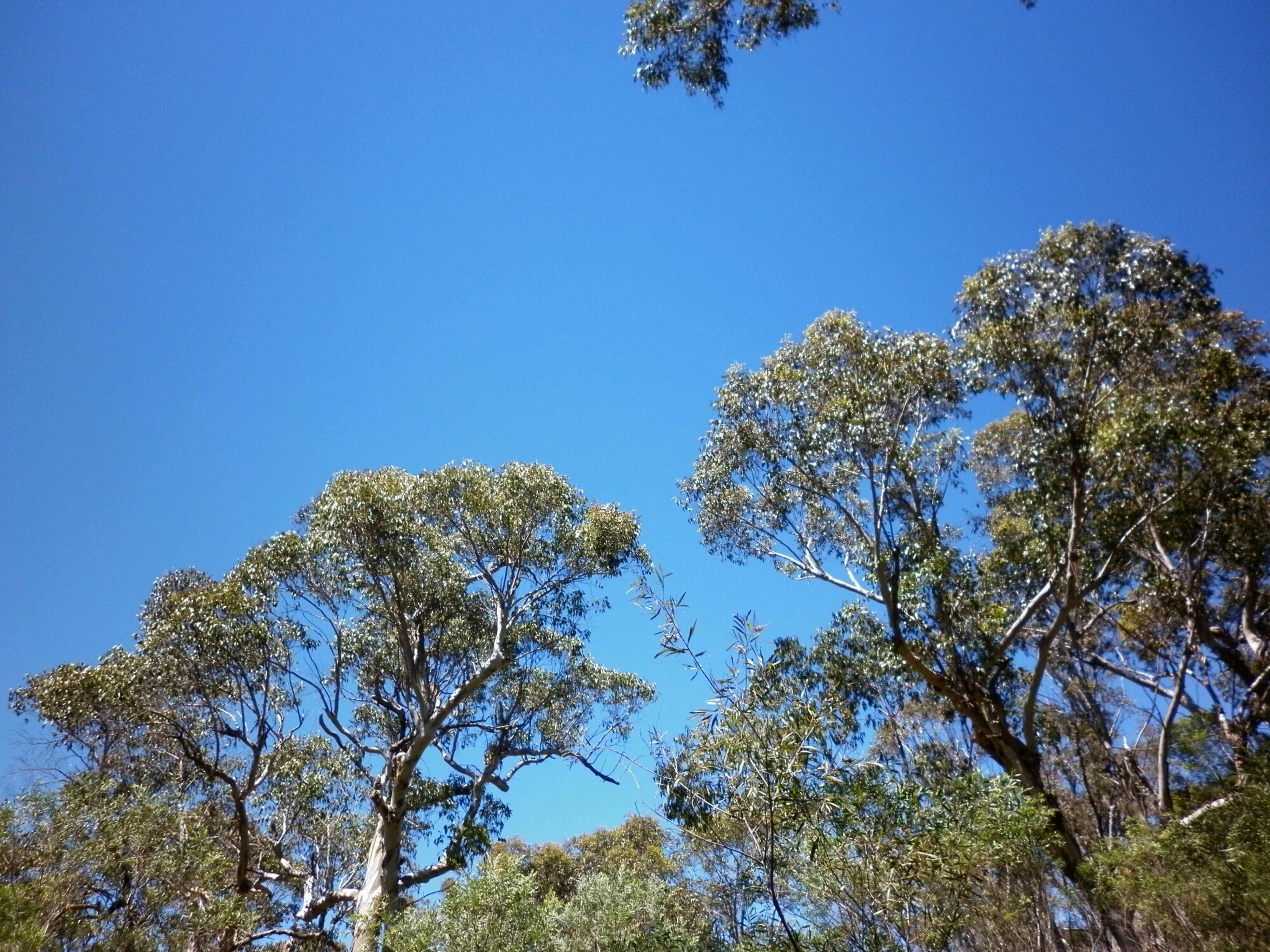 tree, clear sky, blue, low angle view, growth, copy space, tranquility, nature, beauty in nature, branch, sunlight, scenics, tranquil scene, day, outdoors, no people, sky, green color, tree trunk, treetop
