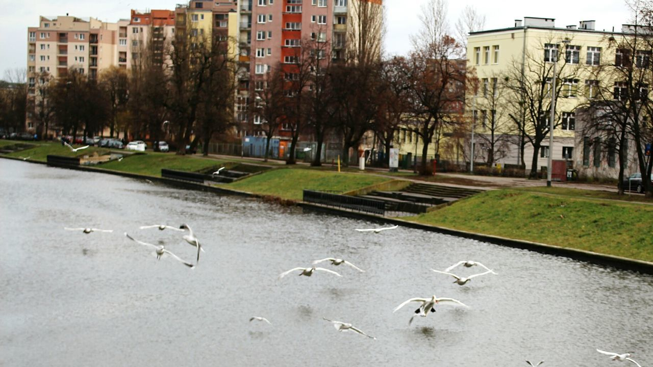 bird, large group of animals, animal themes, animals in the wild, building exterior, tree, architecture, animal wildlife, built structure, outdoors, flock of birds, day, nature, no people, city, grass, water, swan, sky