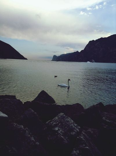 """Swan Sea Outside Beautiful ♥ amazing atmosphere at the """"Gardasee"""" in Italy <3"""