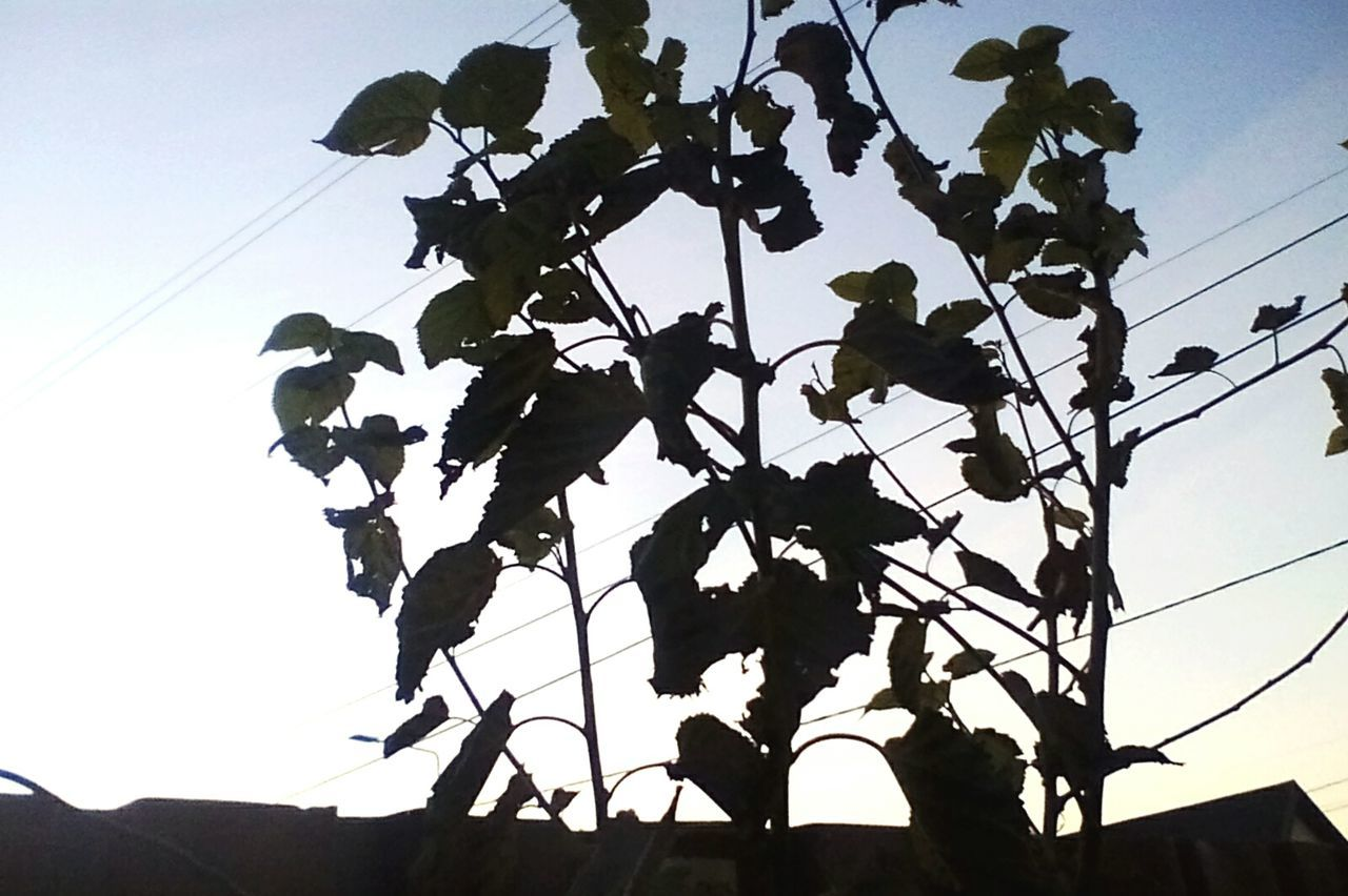 low angle view, silhouette, nature, sky, day, no people, outdoors, growth, plant, cable, clear sky, leaf, beauty in nature, branch, flower, tree, close-up