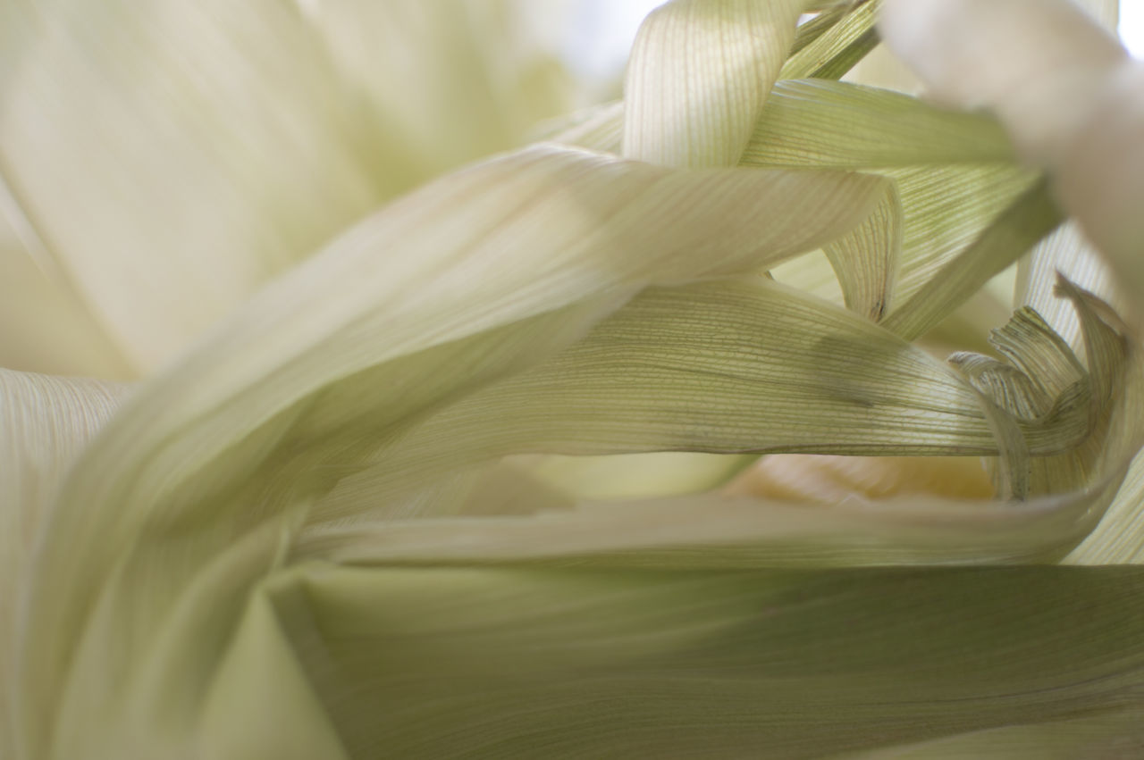 Close-up Corn Day Fragility Green Green And White Growth Grøn Majs Nature No People