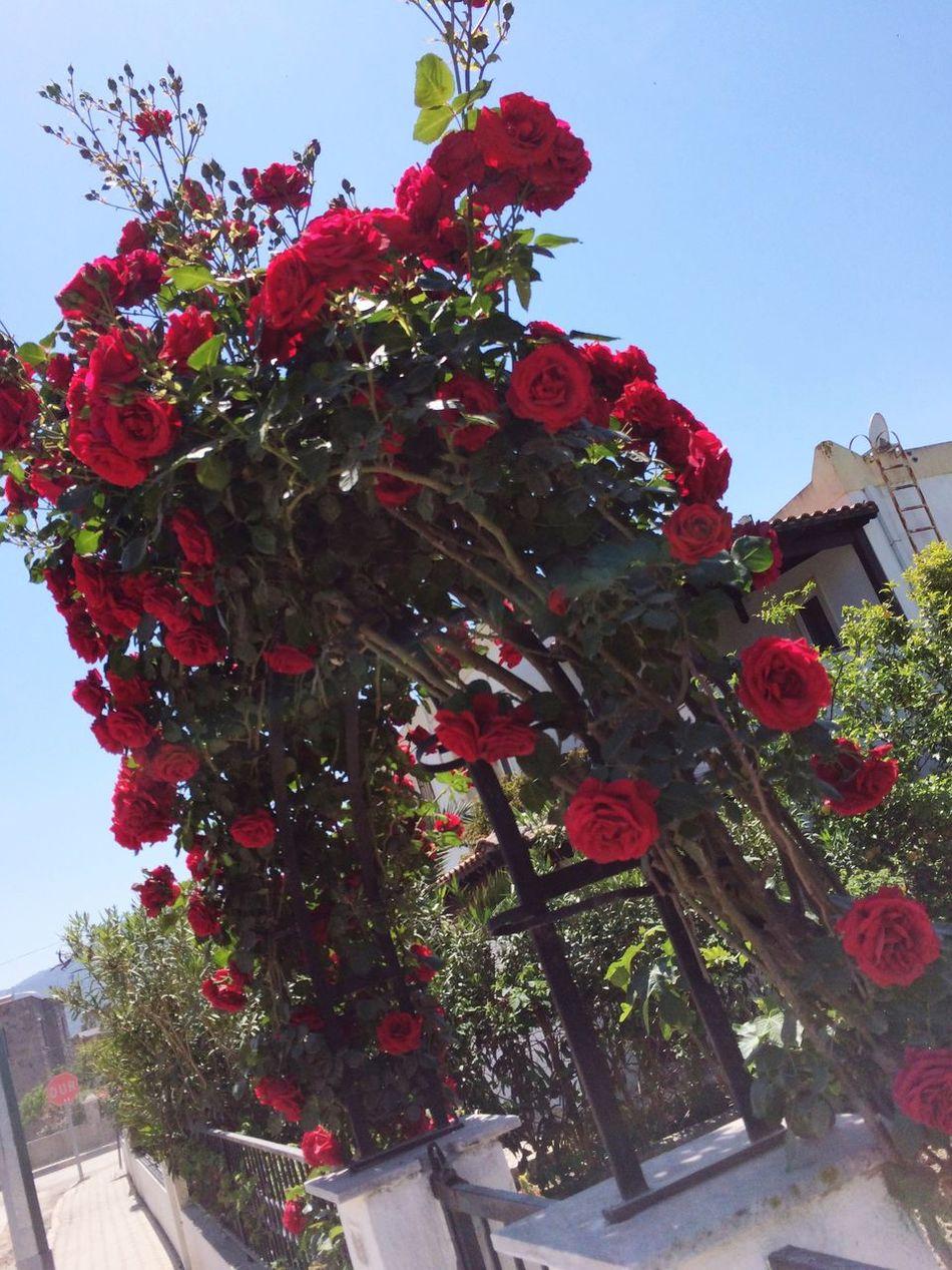 Relaxing Taking Photos Nature Outdoors Flowers Popular Photos Freshness Enjoying Life Flower 🥀🥀🌹🥀🌹