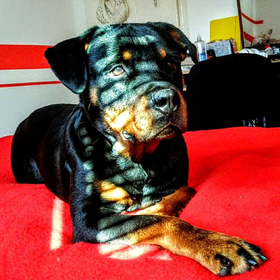 Pets Domestic Animals Animal Themes Dog Relaxation Sofa Lying Down Indoors  Close-up Portrait No People Focus On Foreground Rottweiler Bedroom Rottie Rottielove Rottweilergirls Vibrant Color Animal Nose Rottweileroftheday Indoors  Day Animal Bed