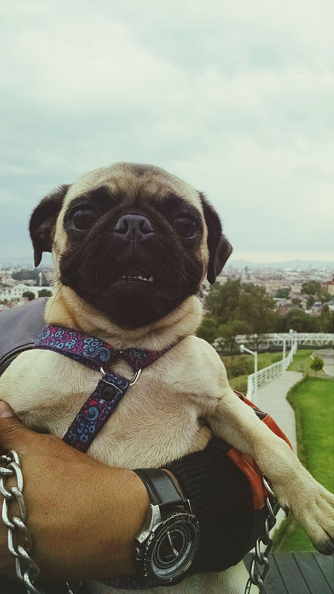 Barbie Pugs Pug Life  Puglover Pug Love Pugsofinstagram