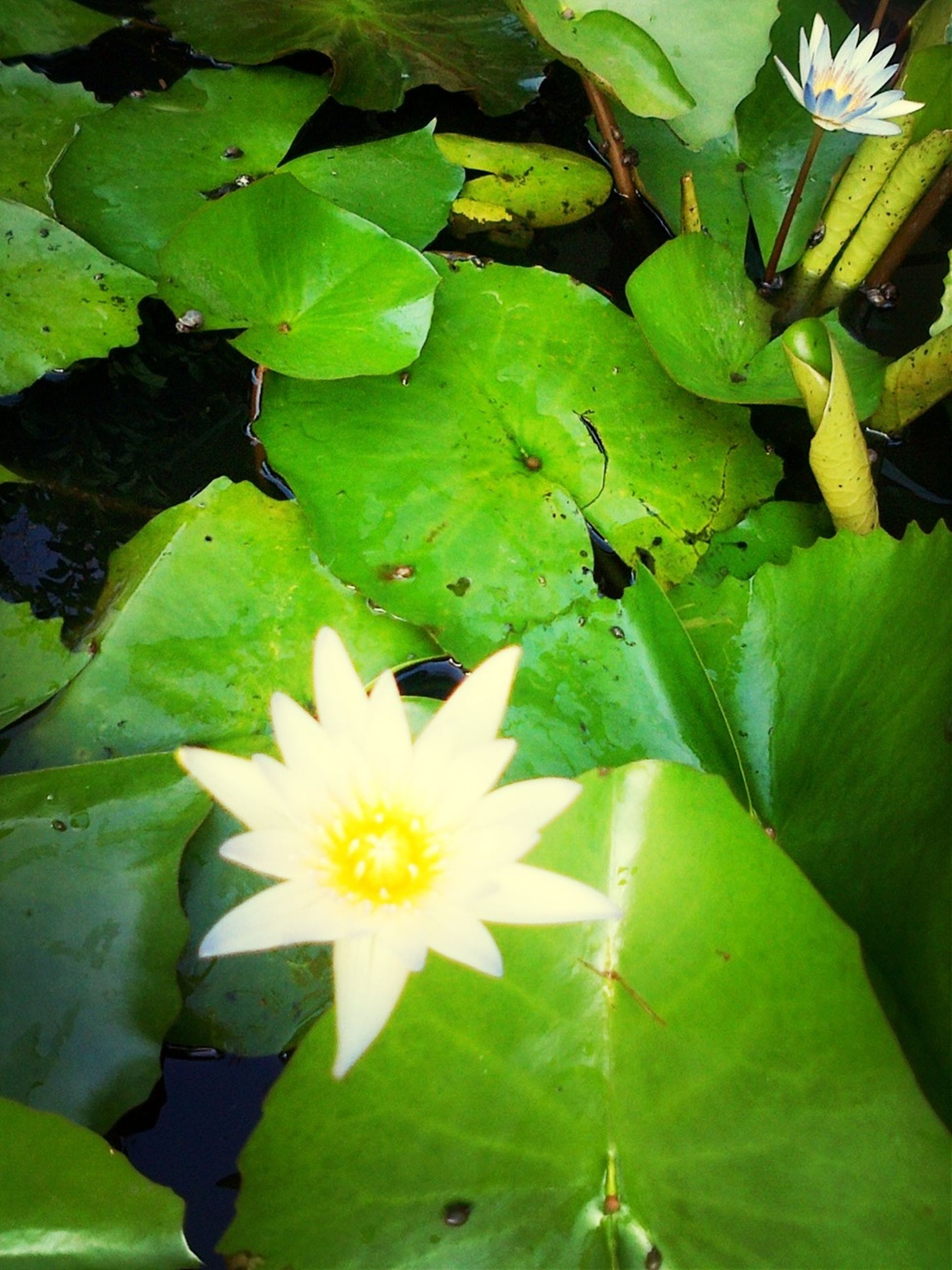 leaf, flower, water lily, freshness, water, growth, fragility, petal, floating on water, pond, high angle view, beauty in nature, green color, plant, nature, flower head, lotus water lily, blooming, white color, close-up