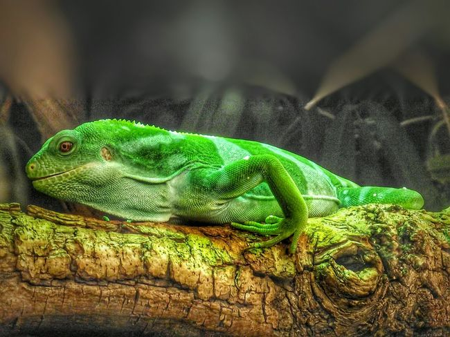 Another photograph taken at the Manchester Museum Taking Photos Macro Photography EyeEm Nature Lover Reptiles Eyeem Lizards Eye4photography  Eyeem Photography HDR EyeEm Animal Lover Creative Light And Shadow Creative Light And Shadow Color Photography Animals Animal Photography Colour Portrait Hdr_Collection No People