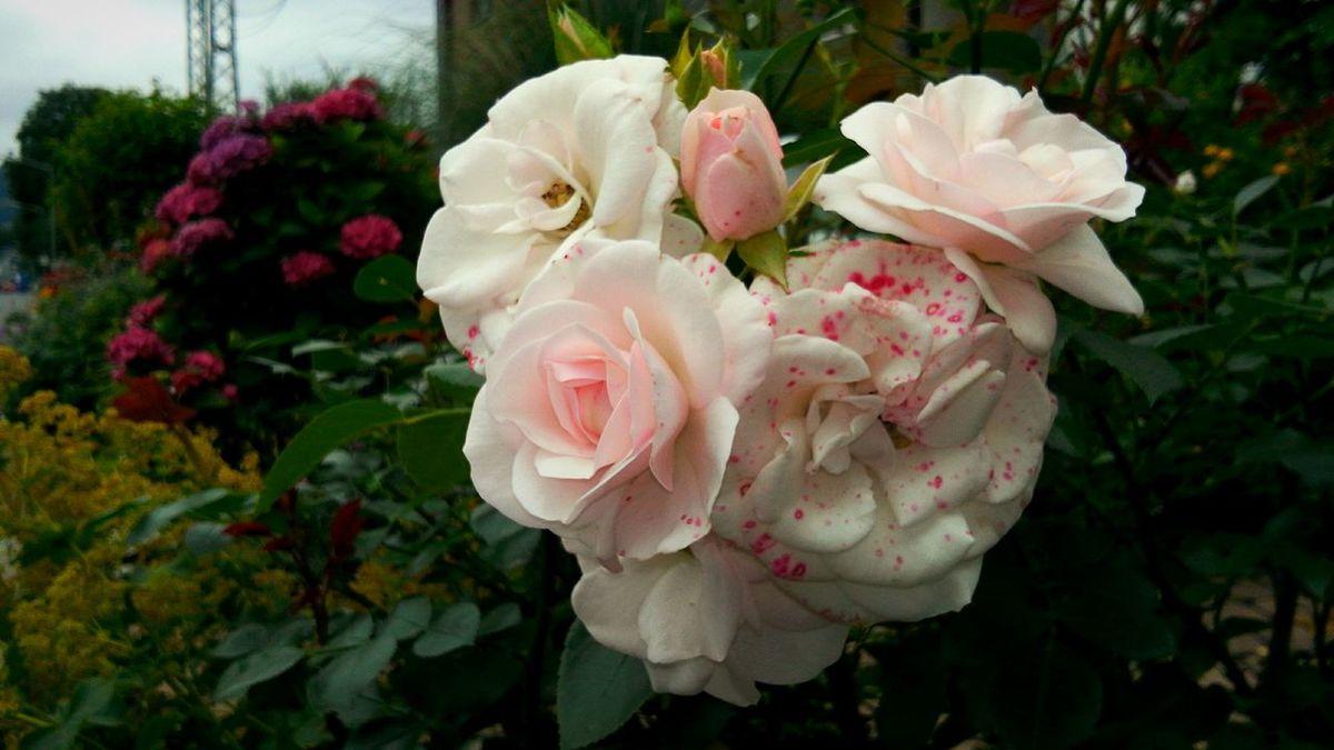 Rose♥ Roses🌹 Roses Flowers  Rosé Roses Rose - Flower Rose🌹 Roses World 🌹❤️🌹 Roses 🌹 🌹ROSE🌹 🌹Rose 🌹🌷🌺beauty 🌹 Rose 🌹the Beauty Of Rose Rosas🌹 роза🌹🌹🌹 Розы❤️ Роза 🌹 роза🌹 Розы🌹 Beauty In Nature LG G Pro Blumenpracht🌺🍃 Blume🌸 Цветы 🌸🌷🌼🌹