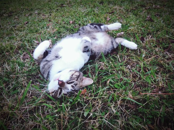 Tomcat Happy Cat A Cats Life Tabby Cat Stripped Cat Cat In Grass Cool Cat Meow Green Eyes Cat Silly Cat  Domestic Animals Pets Dog Animal Themes One Animal Mammal Grass High Angle View Field No People Day Outdoors Relaxation Nature Lying Down