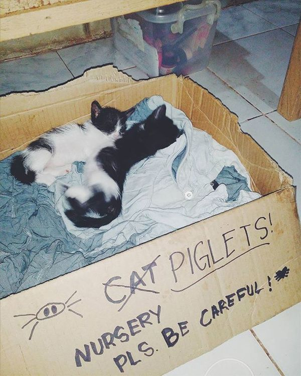 new litter. cat? piglets? seriously, this is my sister's work. haha got mixed up with our favorite animal pigs, with this fat kittens. haha :) VSCO Vscophilippines Vscocam Kitten Kittens Kittensofig Litter New Cute Cuddly Fat Box
