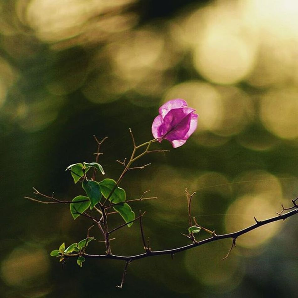 • simple • significant • Flower Bouganville Nature Bokeh Winterdiaries College Vnit Oneplustwo