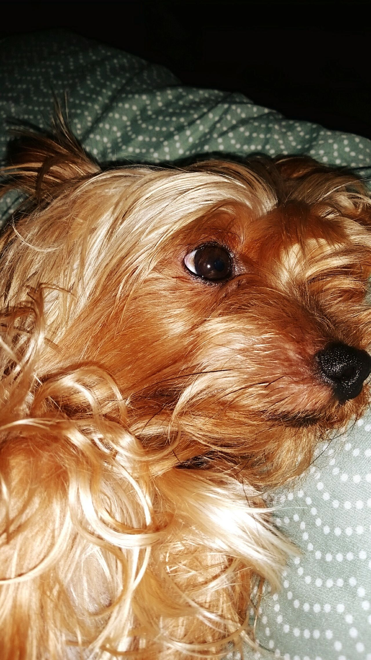 YorkieBestShots Cute Doggy Lookatthatface My Dogs Are Cooler Than Your Kids
