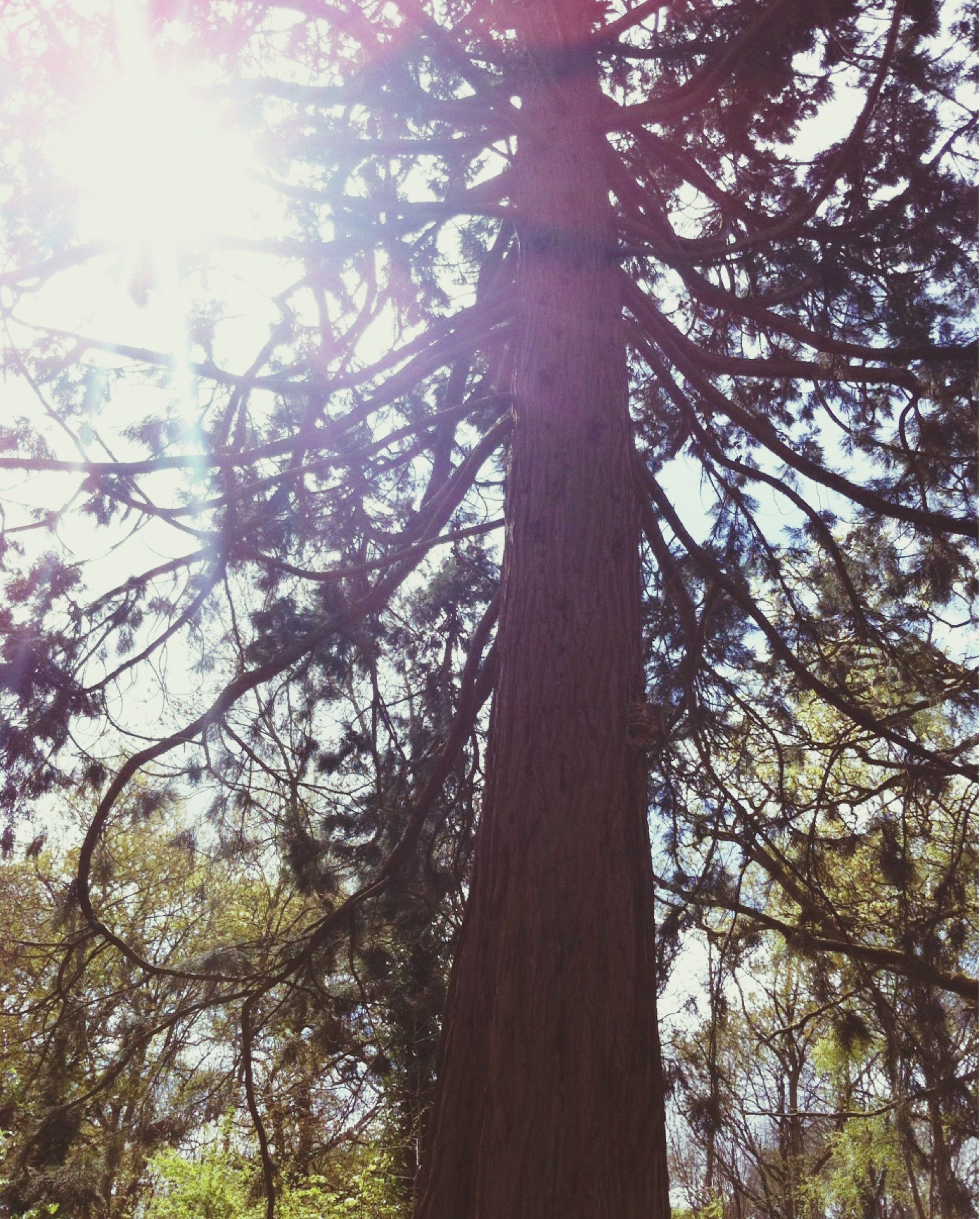 tree, low angle view, sun, sunbeam, sunlight, growth, branch, lens flare, nature, tranquility, tree trunk, beauty in nature, sky, sunny, day, outdoors, bright, no people, scenics, forest