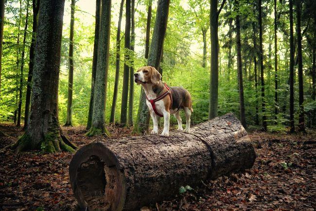 Beagle Forest One Animal Dog Tree Pets WoodLand Looking Away Front View Domestic Animals Non-urban Scene Nature Beagles  Beagle Polska Poland Masuria Warmia Mazury