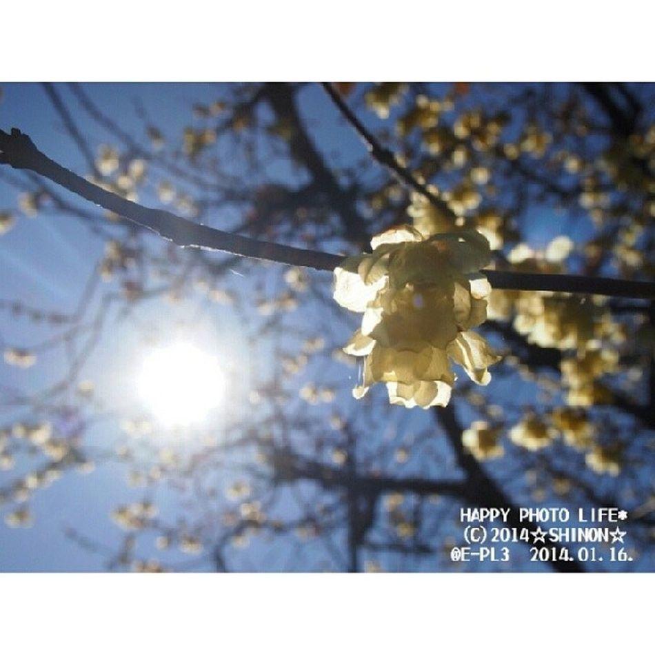 おはようございます♪ 今日はいいお天気(*^^*) 笑顔の1日になりますように(*´ω`*) * 青空の下で笑う蝋梅 * 花 満月蝋梅 蝋梅 青空 実家 flower yellow オリンパス OLYMPUS PEN_E_PL3 my_pic photograph