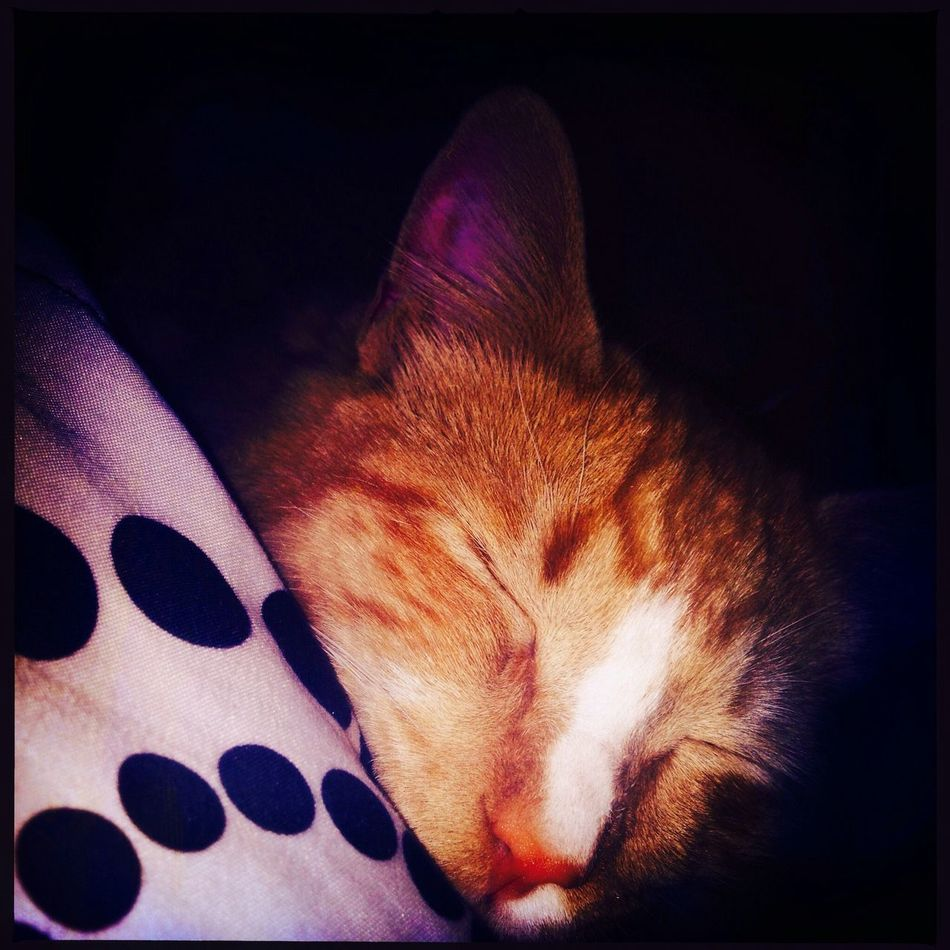 Guess who I found on my pillow this morning! Buttercup Cat Nap Kitty Laying In Bed