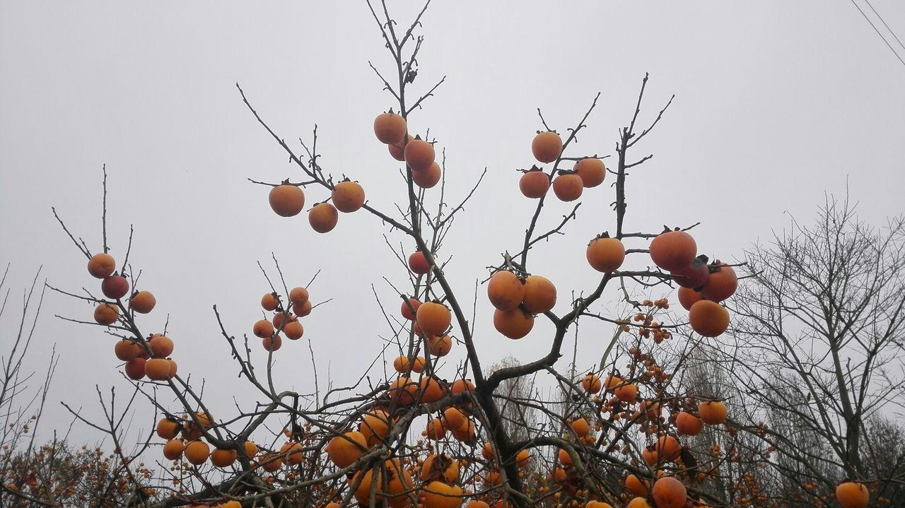 Winter Winter Fruits Persimmons Persimmontree Wild Persimmon Enjoying Life Tree And Sky Winter Trees Tree Branches Branches And Sky Fruits On Tree No Edit/no Filter
