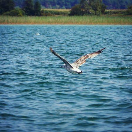 Seagull SEAGULL IN FLIGHT Lake Powidzkie_lake Bird Photography Bird Jezioro_powidzkie Mewa Nature_collection Animal_collection