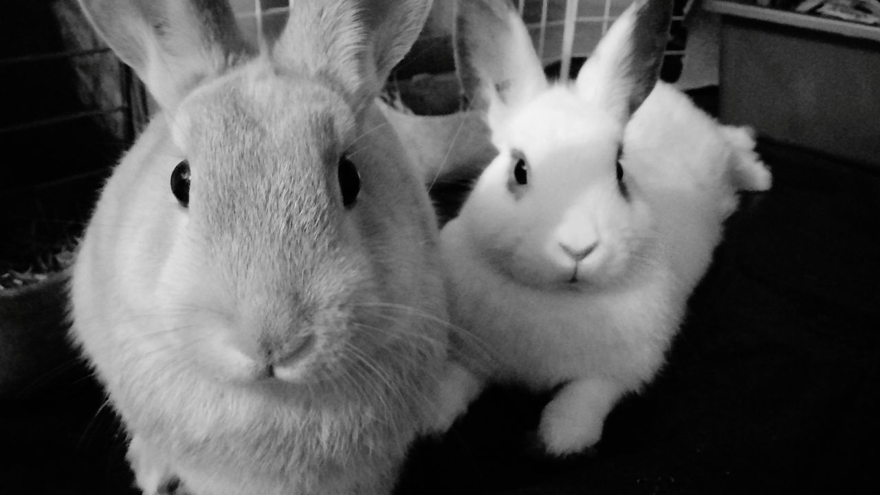 Just chillin Bunny 🐰 Cute Pets Love ♥ Big Ears FLUFFY BUNNY Adorable Pets Relaxing Family❤