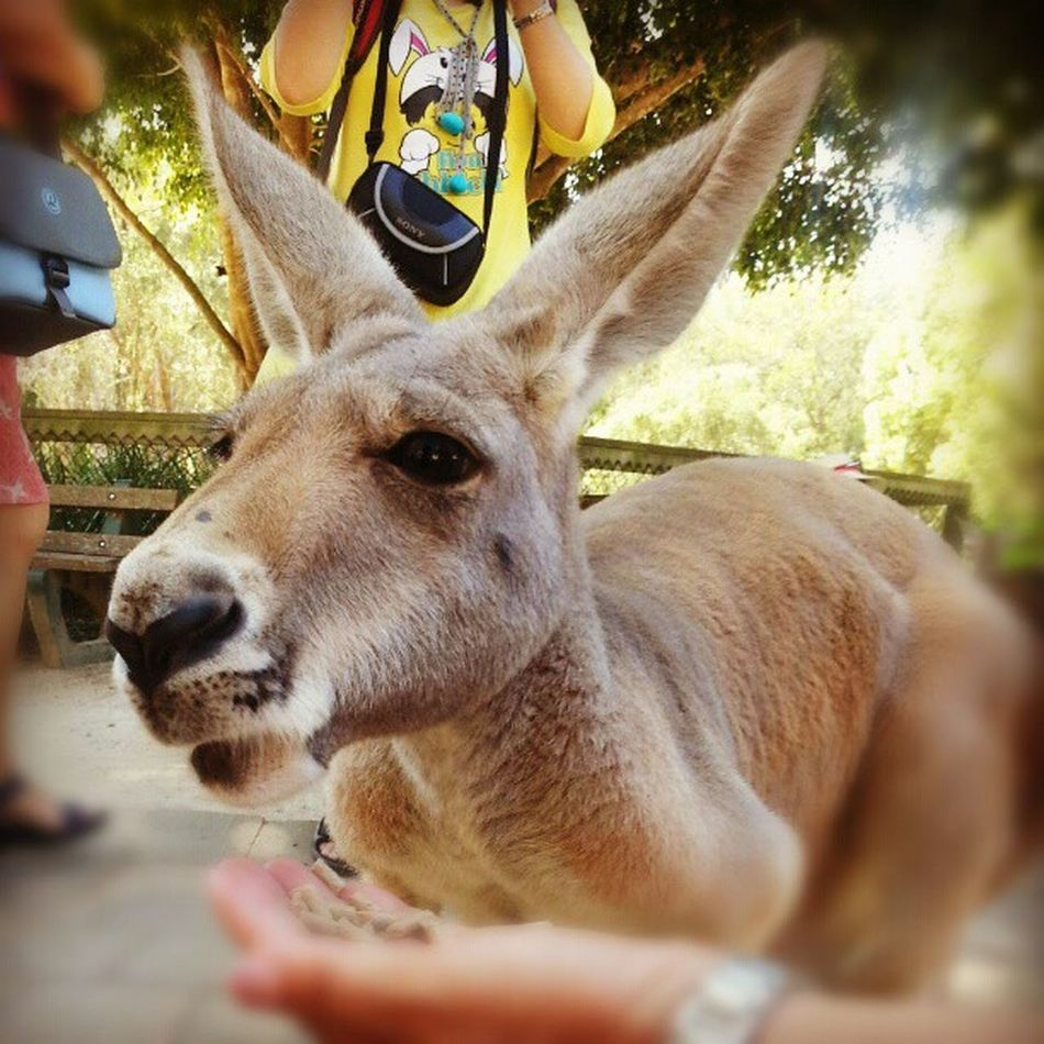 Kangaroo Animal Australia Goodcoast instaanimal happynewyear happy holiday webstagram photooftheday instamood
