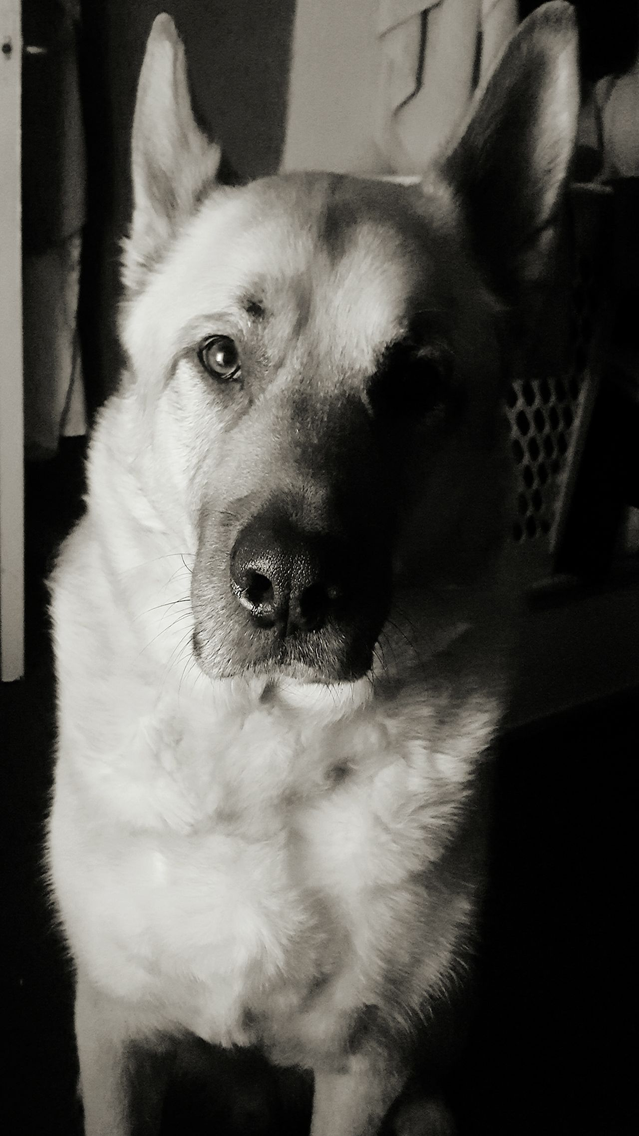 Alsatian Akita Bullmastiff Puppy Love ❤ Best Friends Gorgeous Dog First Eyeem Photo