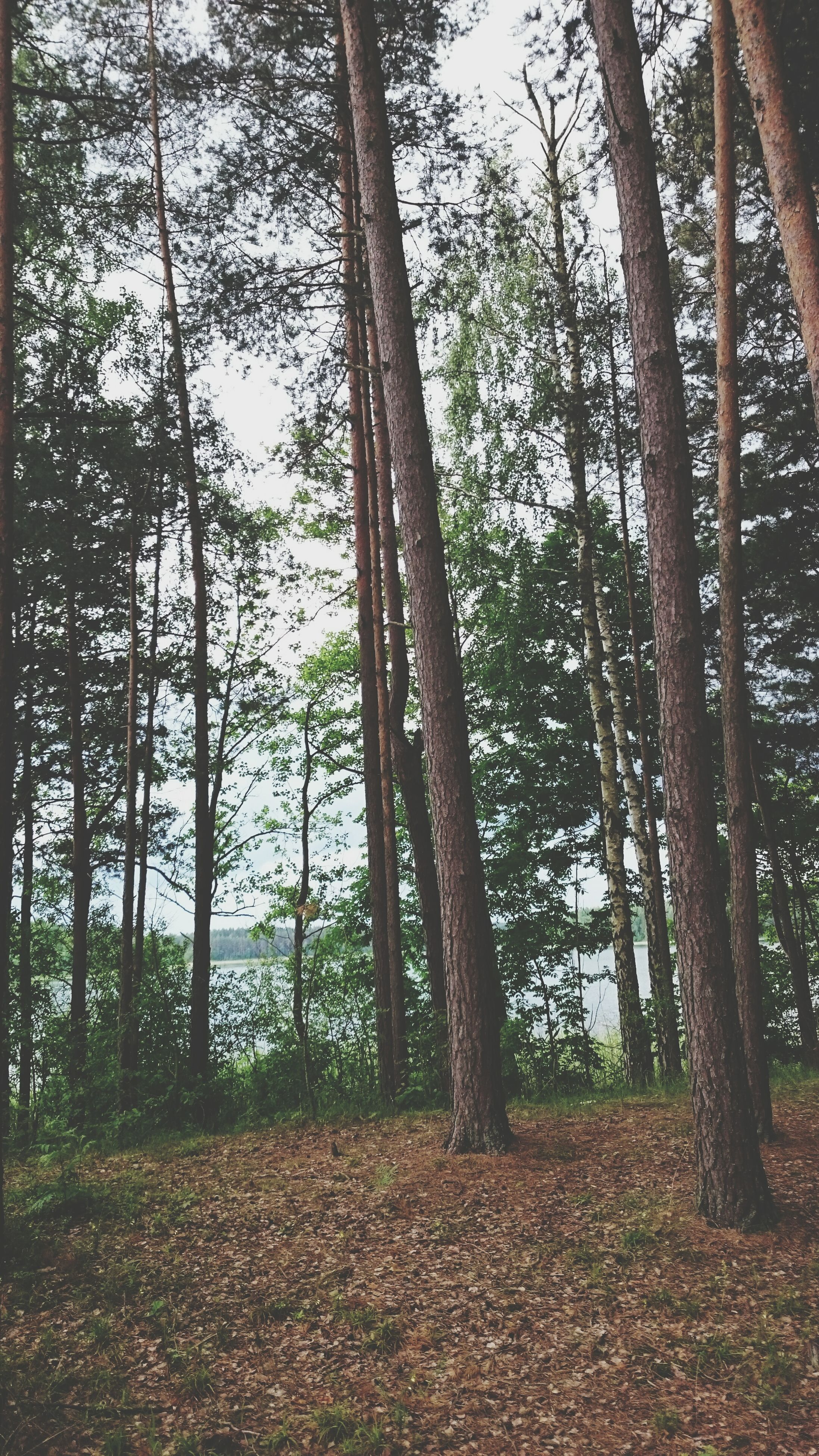 tree, tree trunk, tranquility, growth, forest, tranquil scene, nature, woodland, beauty in nature, scenics, branch, landscape, non-urban scene, sunlight, day, sky, outdoors, growing, idyllic, no people