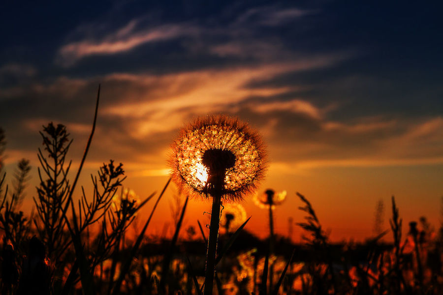 Lion in the sun Eric Barnes Photography First Eyeem Photo Wildflowers Sunset Silhouette Low Angle View Perspective Dandelion Sky Sky And Clouds Things I Like My Favorite Photo The Great Outdoors With Adobe