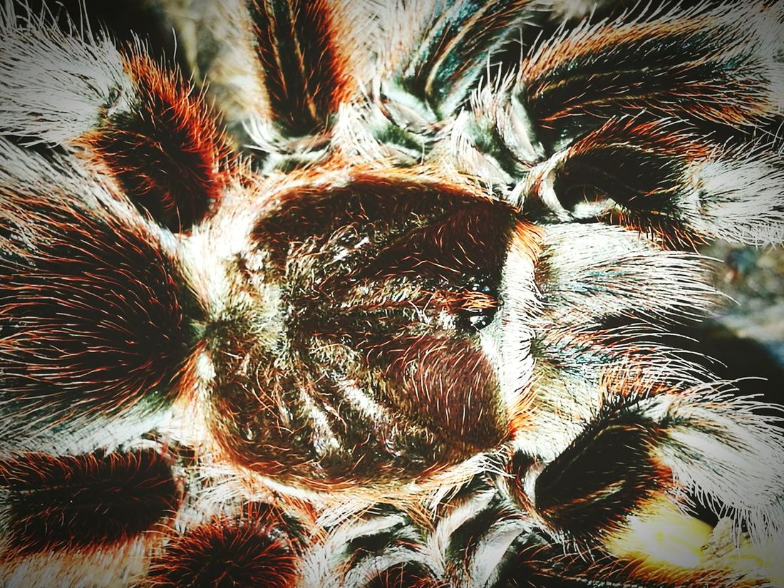 Arachnid Bug Eyem Nature Lovers  EyeEm Nature Lover Spider Tarantula Chile Rose Tarantula