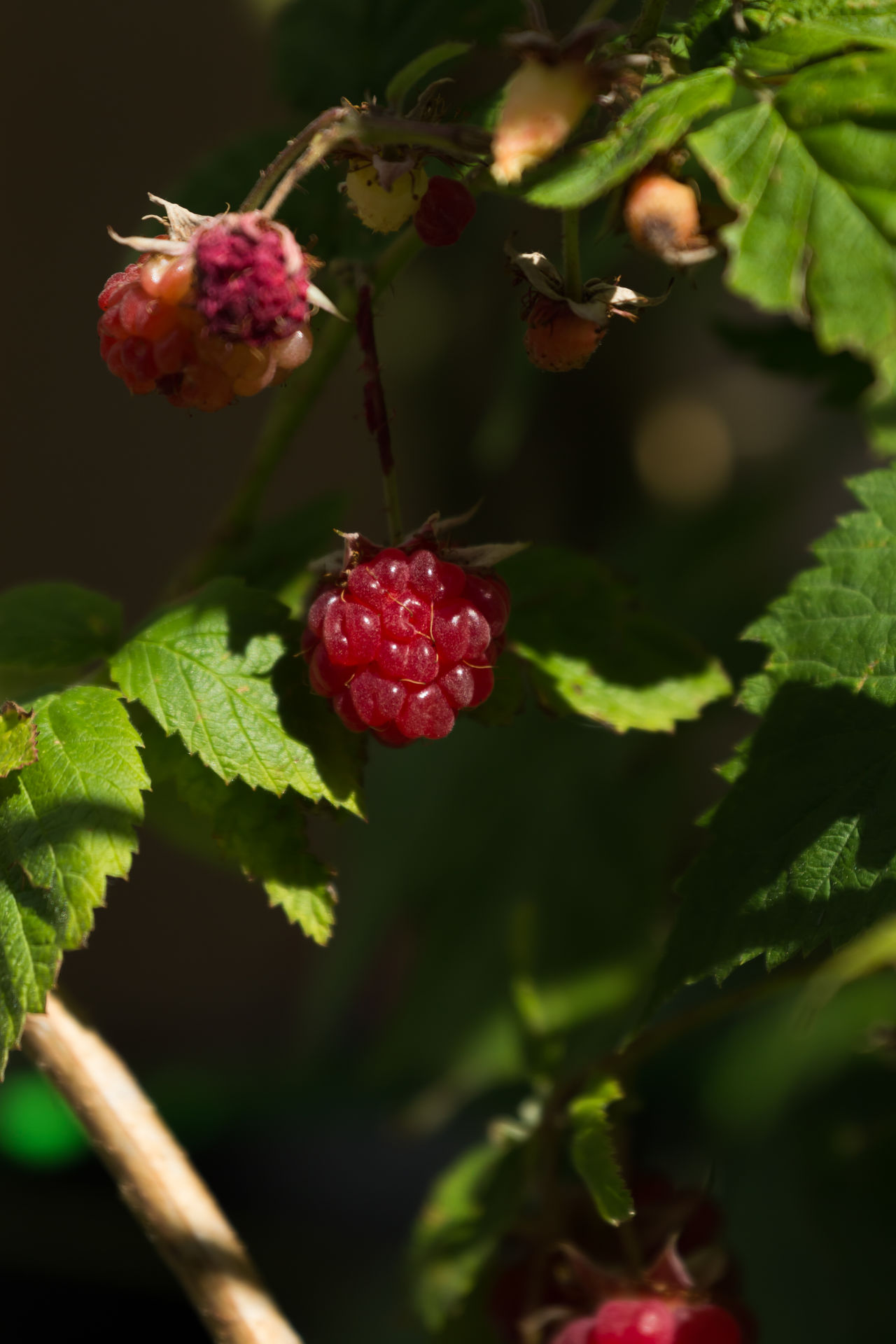 Raspberries growing in the garden. Beauty In Nature Branch Close-up Day Focus On Foreground Food Food And Drink Freshness Fruit Gardening Green Color Growing Growth Healthy Eating Home Grown Juicy Fruit Leaf Nature No People Outdoors Plant Raspberries Red Summer Fruit