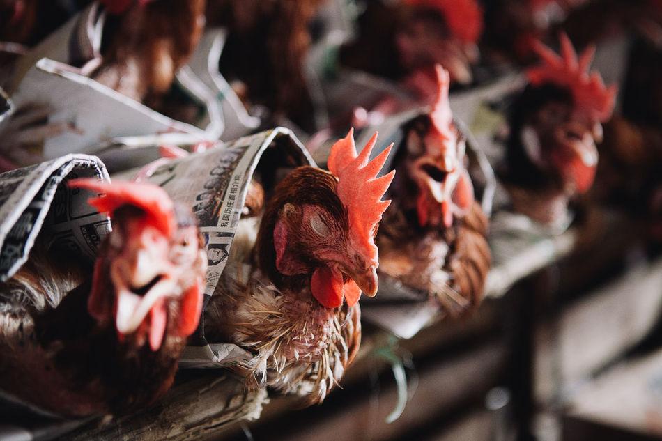 Beautiful stock photos of chicken,  Animal Head,  Chicken,  Close-Up,  Day