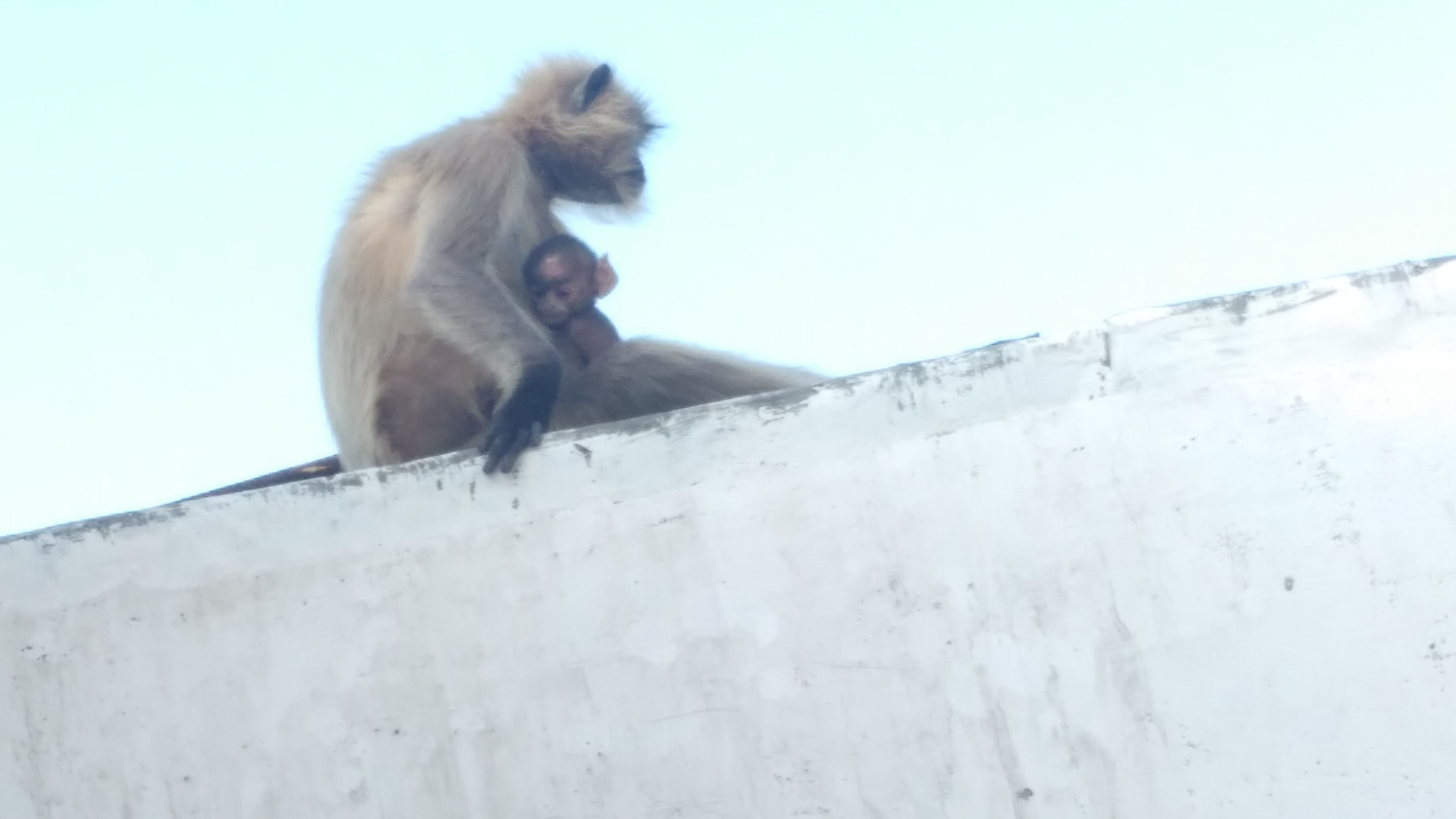 mammal, animal themes, monkey, animals in the wild, low angle view, primate, no people, one animal, day, built structure, retaining wall, outdoors, architecture, sky, nature, baboon