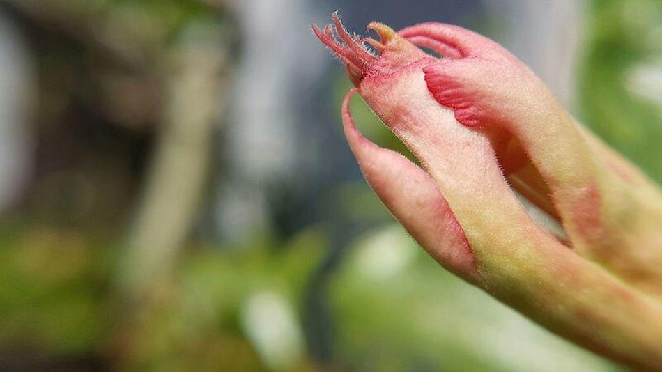 Fragipani Budding Flower Flora Macro Photography No Edit/no Filter New Life Begins