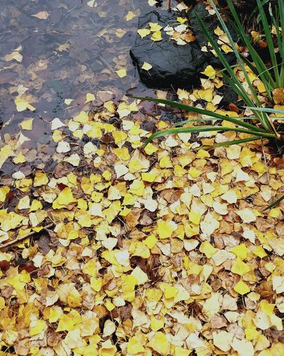 Leaves by a lake Outdoors Nature Floating On Water Beauty In Nature Beach Water Yellow Leaves Background