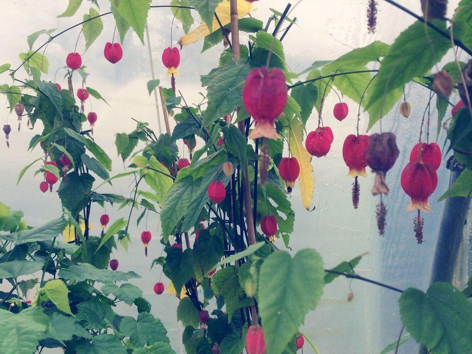 Abutilon Plants Work Job Gardener Vintage Yellow Art Nature Art Model Plant