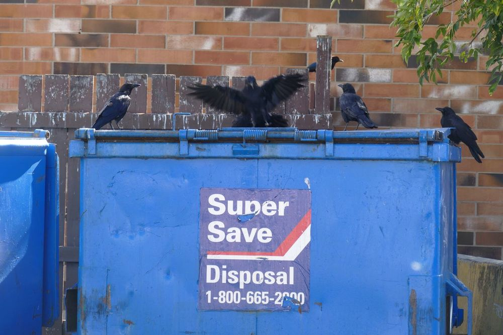 Adapted To The City Buffet for Crows. Perching Wing Flapping Crowing Dining Out Buffet Buffet Time!!! Animals In The City Crows CROWS!!!! Corvids More Than One Corvid Dumpster Dumpster Diving Blue Black Birds Brick Wall Wooden Fence Urban Landscape City Dwellers