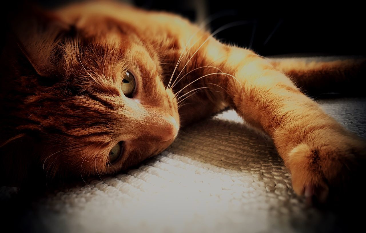 Reggie the cat Pets Domestic Cat One Animal Domestic Animals Indoors  Lying Down Close-up Feline No People Fur Fluffy Cute Cute Pets