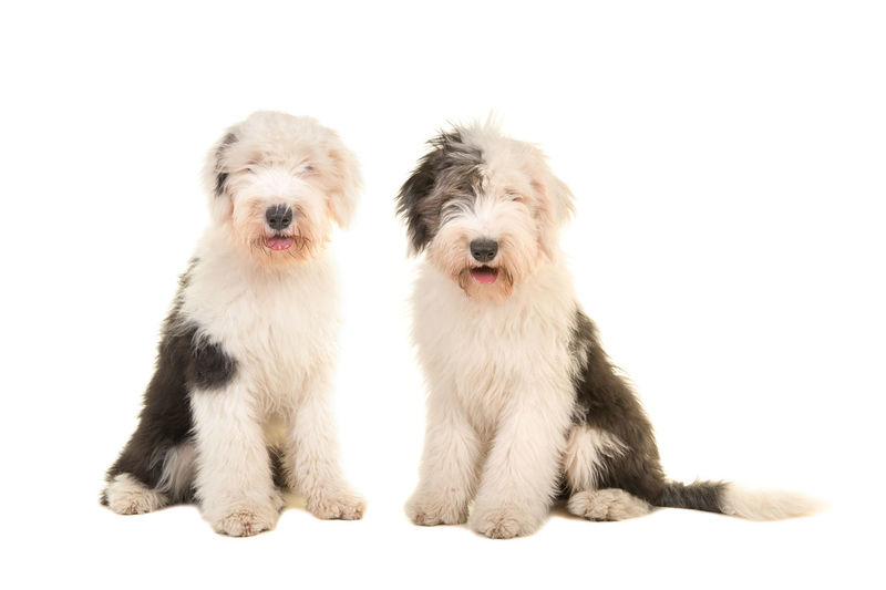Two sitting young adult english sheep dogs looking at the camera isolated on a white background Old English Sheepdogs Sitting Animal Themes Animals Canine Dog Pets Sheep Dogs Studio Shot White Background