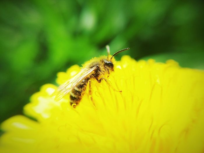 Bee пчела Flowers Nature Insects  Macro Mobilephotography Meizumx4 Taking Photos OpenEdit