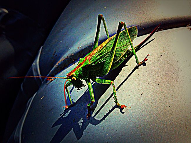 Green Little Locust Beautiful