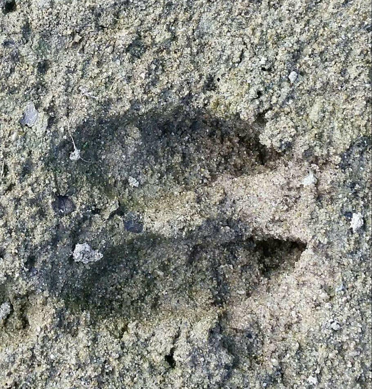Deer Deer Tracks Tracks Ohio, USA
