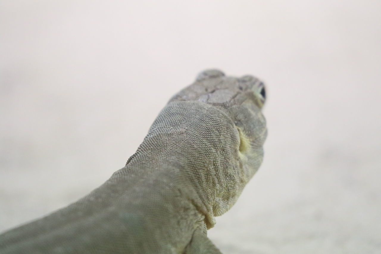 Animal Themes Animal Wildlife Animals In The Wild Close-up Day Focus On Foreground Lizard Nature No People One Animal Outdoors White Background