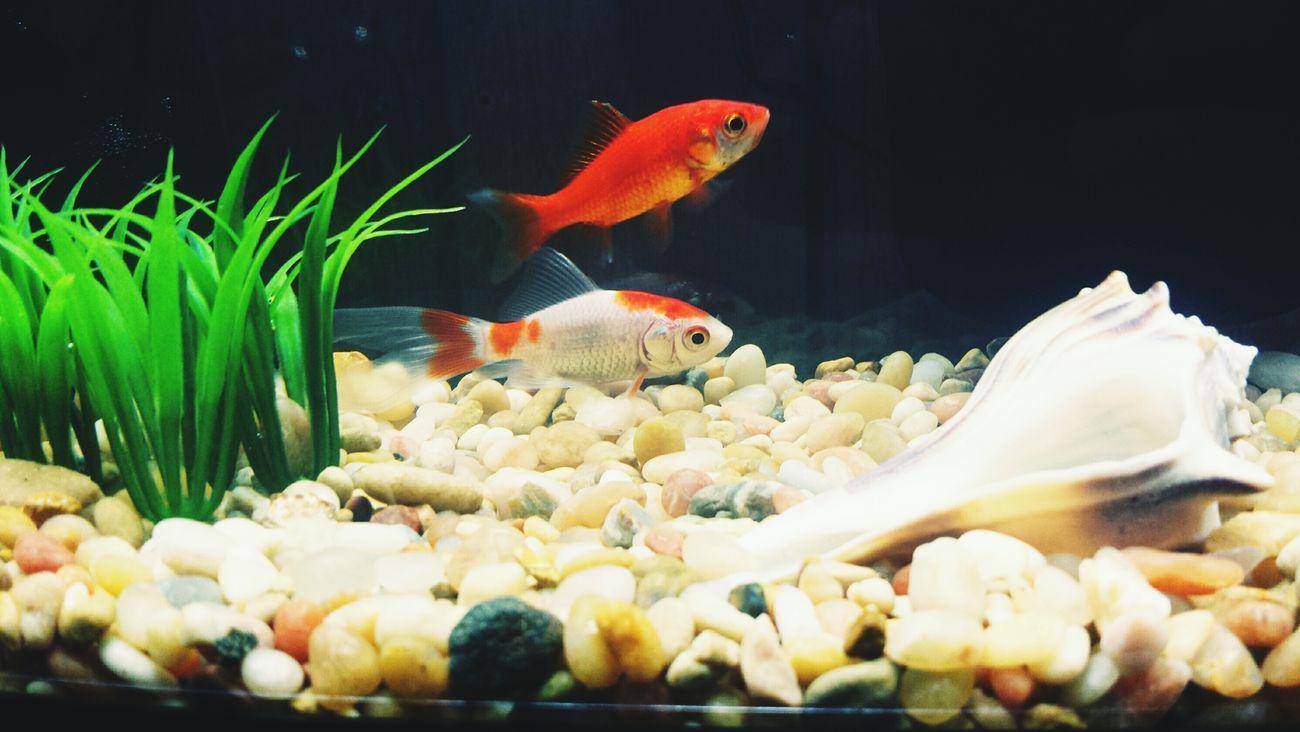 Sandy & Cosmo ?? Goldfish Fish Are Friends Not Food Fish Aquarium Pets