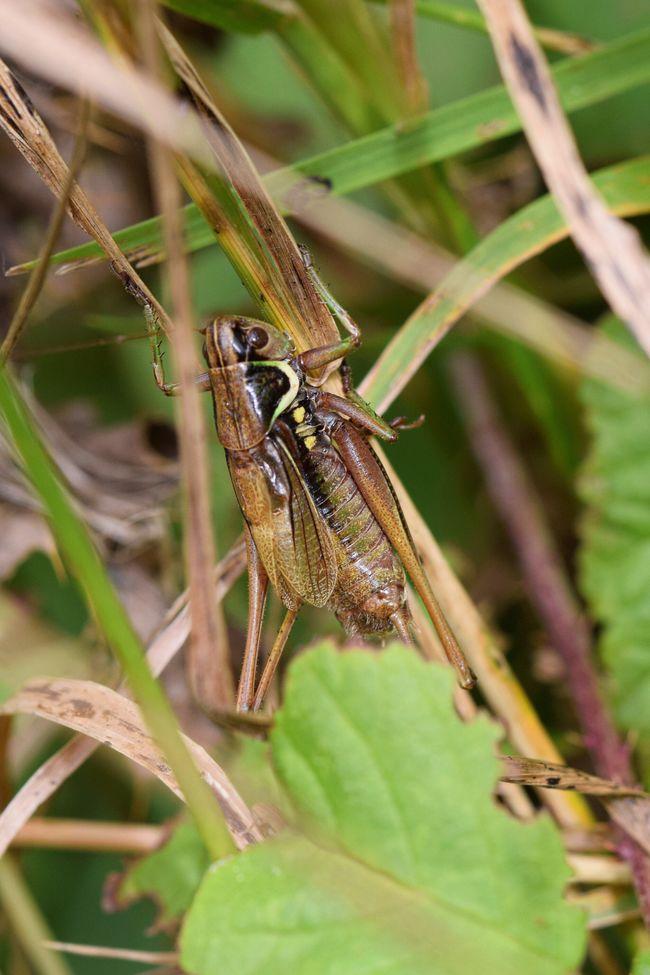 Morning call. Close-up Nature Uk Macro Photography Crickets