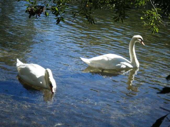 Swans Swan Birds Swimming Water River Blue Green
