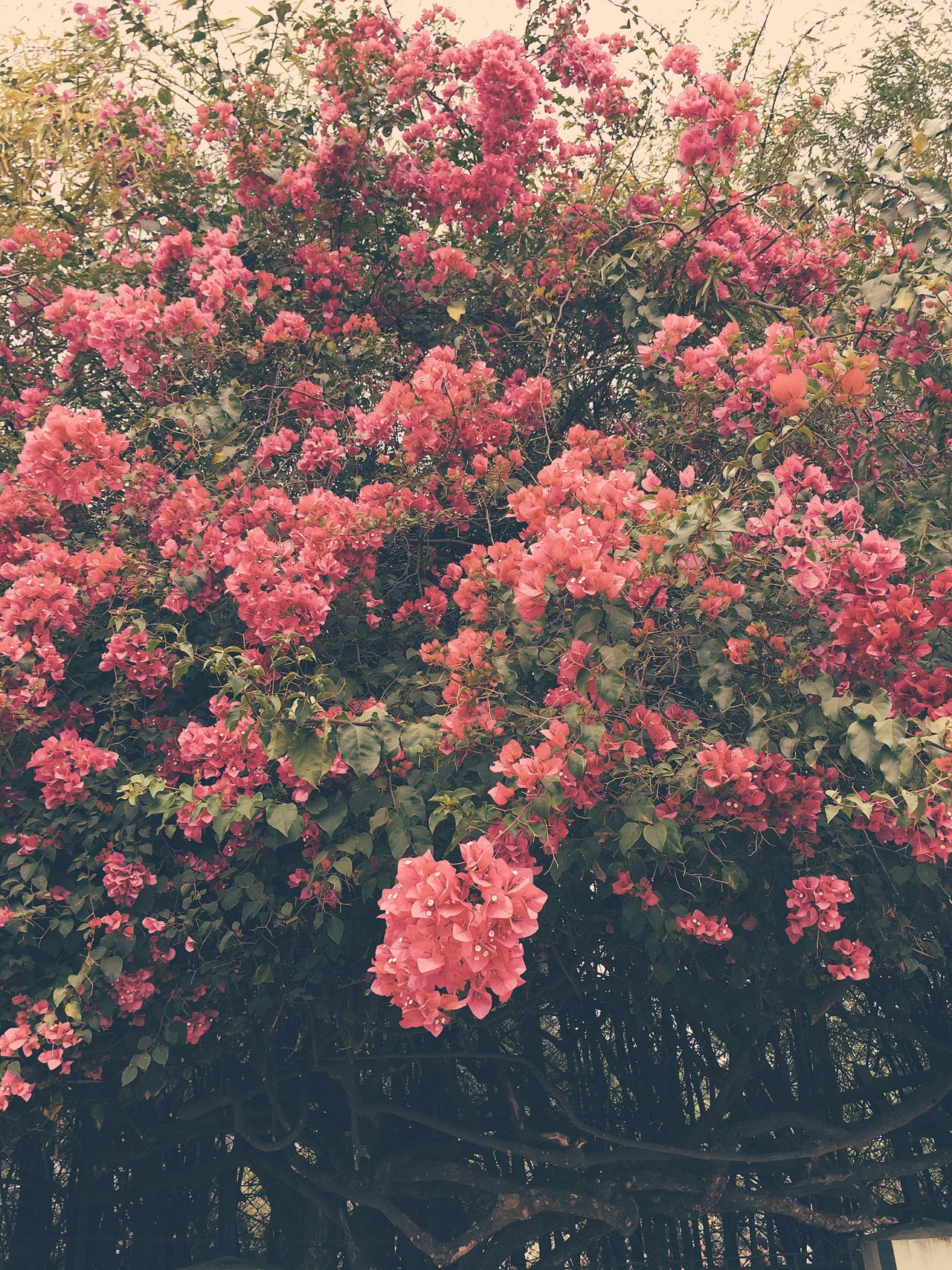 Bougainvillea IPhone Flower Growth Nature Fragility Beauty In Nature Freshness Plant Day Outdoors No People Blooming Flower Head