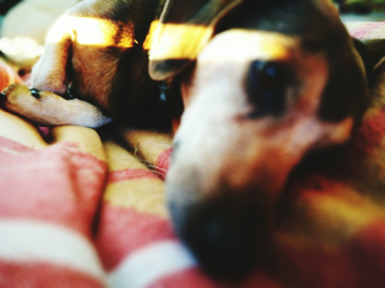pets, dog, domestic animals, one animal, animal themes, mammal, indoors, selective focus, no people, close-up, bed, day