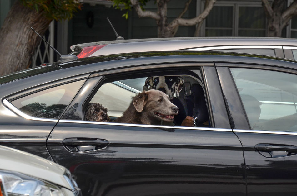 Heading Out With the Boys Animal In The City Black Blind Passanger Brave Car Confidence  Cool Dog Dog In Car Dogs In Cars Driving Friends Journey Open Window Pack Passenger San Francisco Squat Team Traffic Traffic Jam Transportation Travel Window
